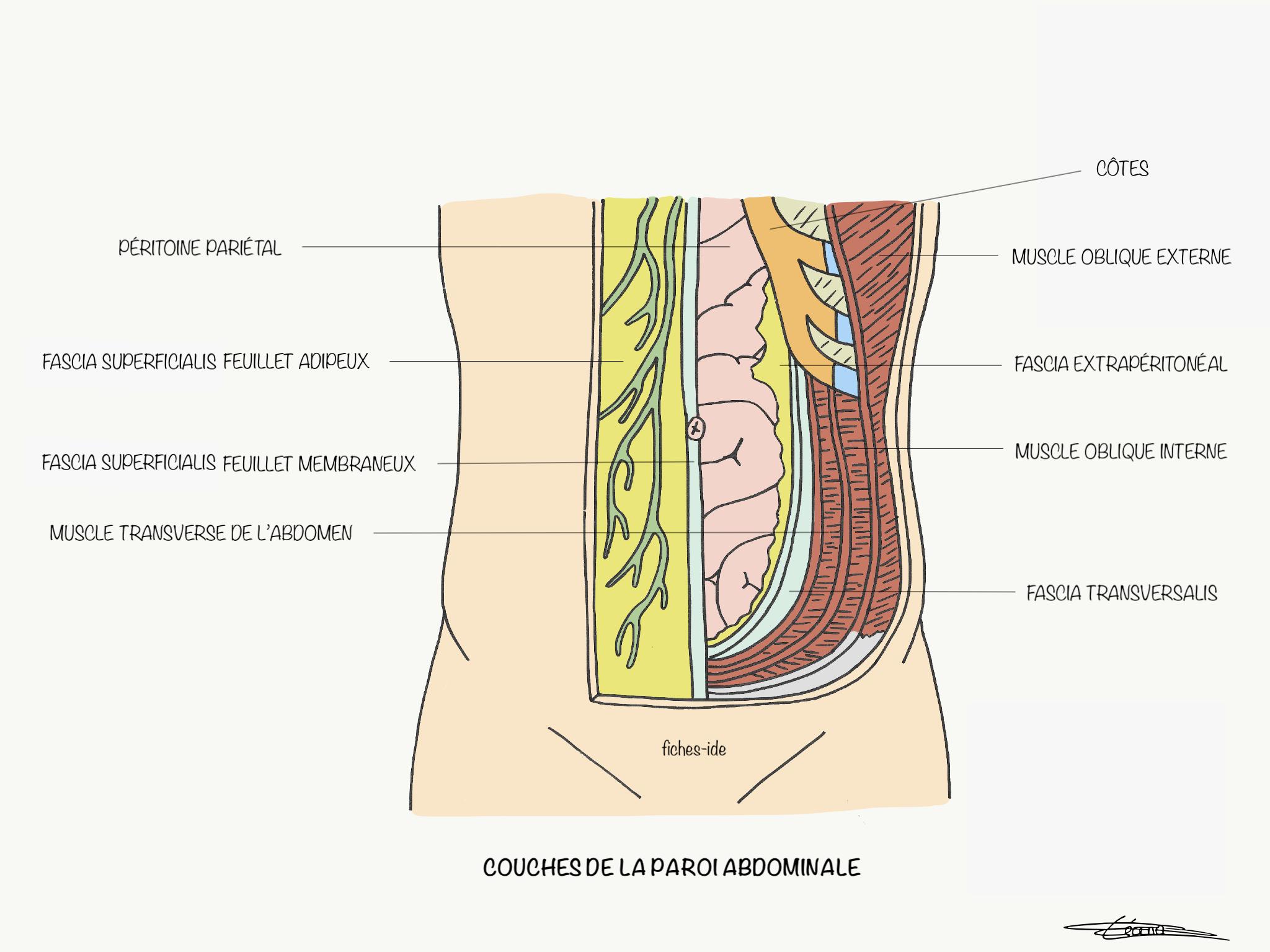 couches de la paroi abdominale